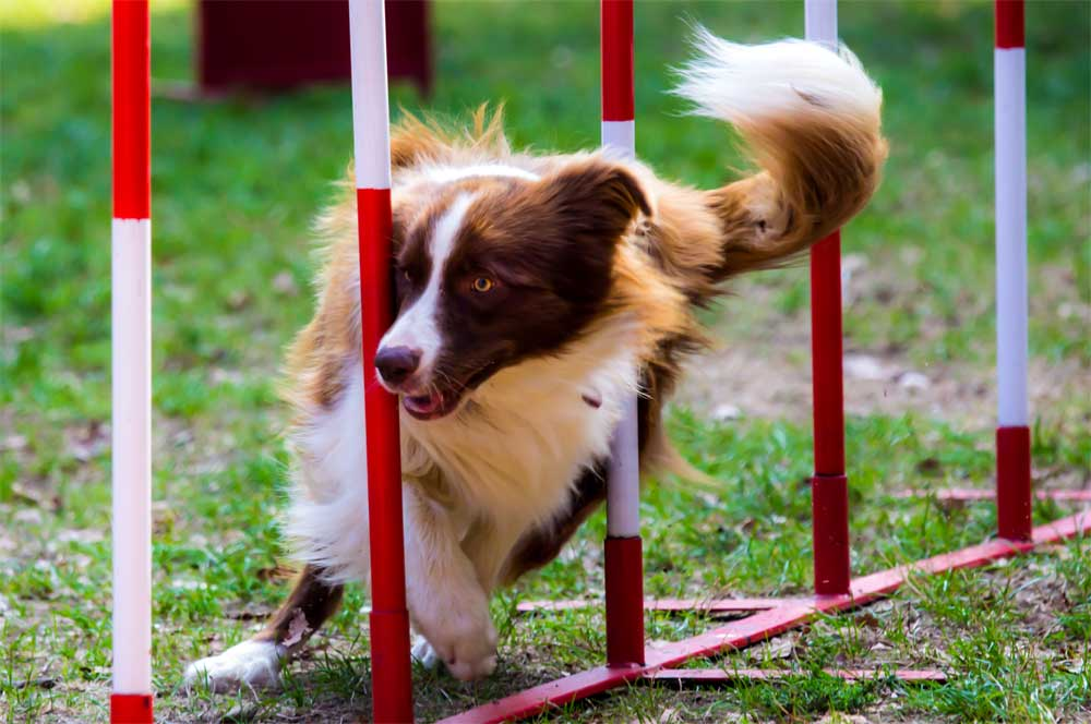 Border Collie beim Hundesport.